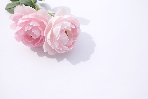 Pink rose petals isolated on white backg