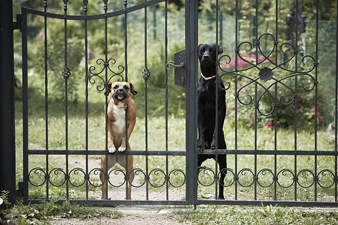 Two dogs behind metal fence..jpg