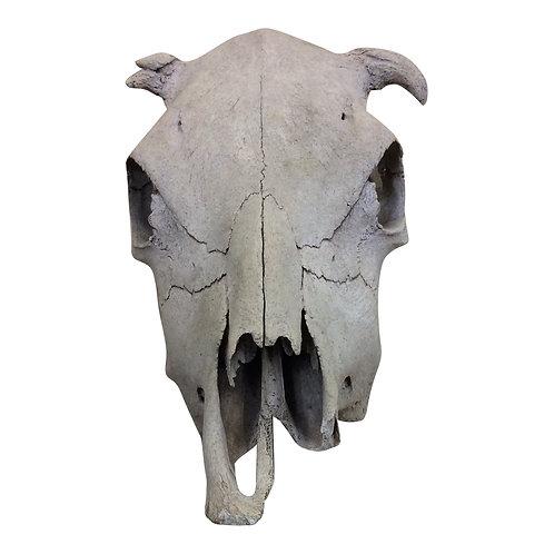 Old Steer Head