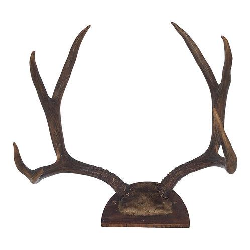 Medium Elk Antlers