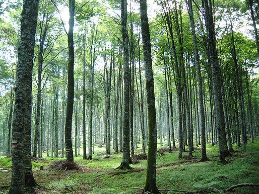 Foresta ecologica ripiantata naturale