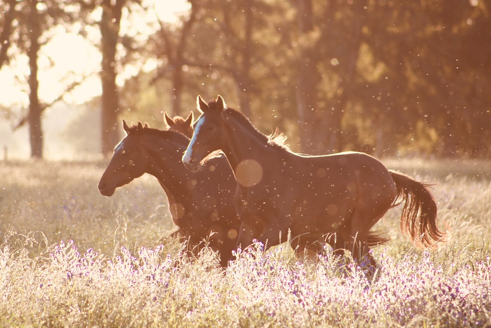 young horses frolicking