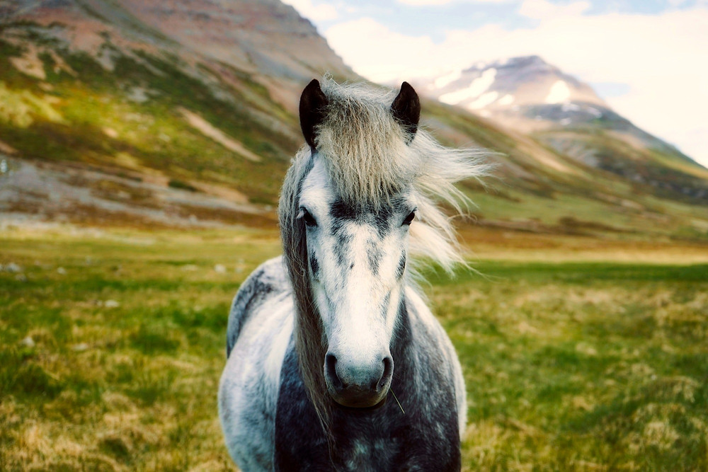 A grey pony out in the highlands