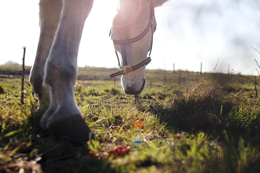 horse grazing in sunrise