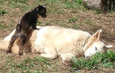 German Shepherd Livestock guardian dog