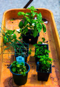 Herbs: From the garden to the kitchen
