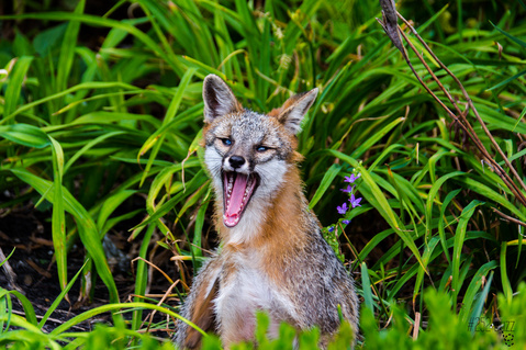 Tryon Palace Maude Moore Latham Memorial fox 6