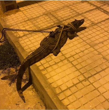Jacaré é resgatado em área residencial em Ribeira do Pombal