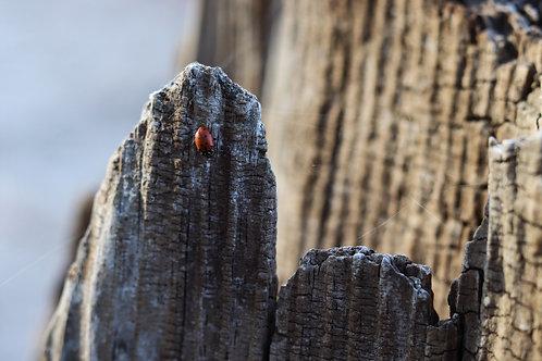 Ladybug Bark