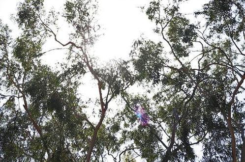 Eucalyptus Sun Flare