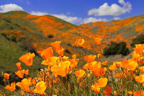 Southern California Poppy Superbloom