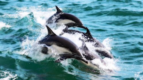 Dolphin Pod 1