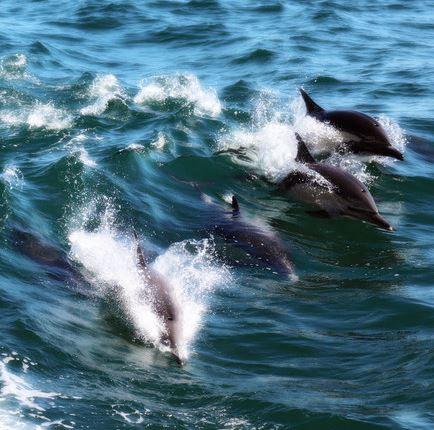Dolphin Pod 2