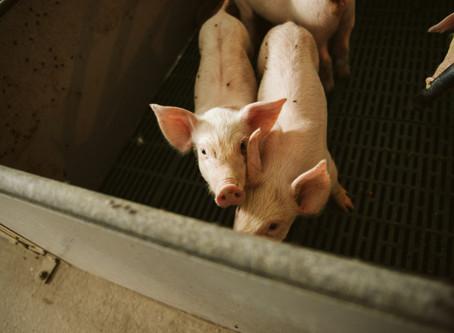 The resilience of a hog farmer