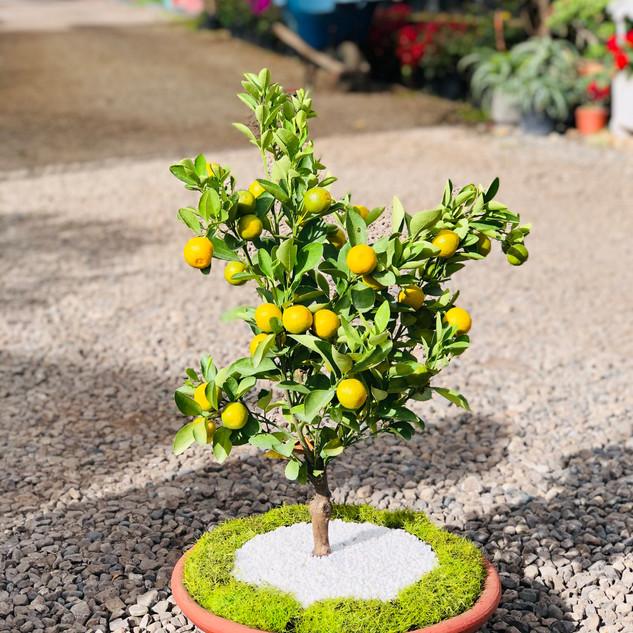 Mandarino decorado en matera