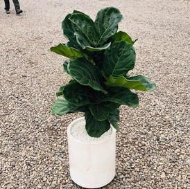 Ficus pandurata
