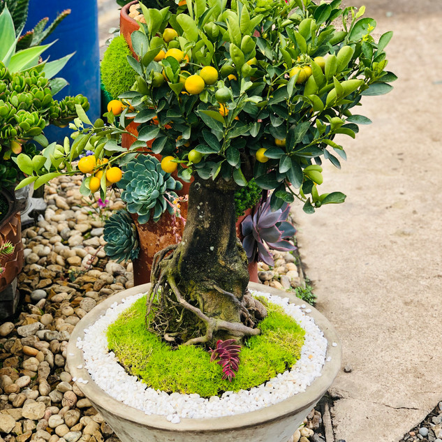 bonsai naranjo