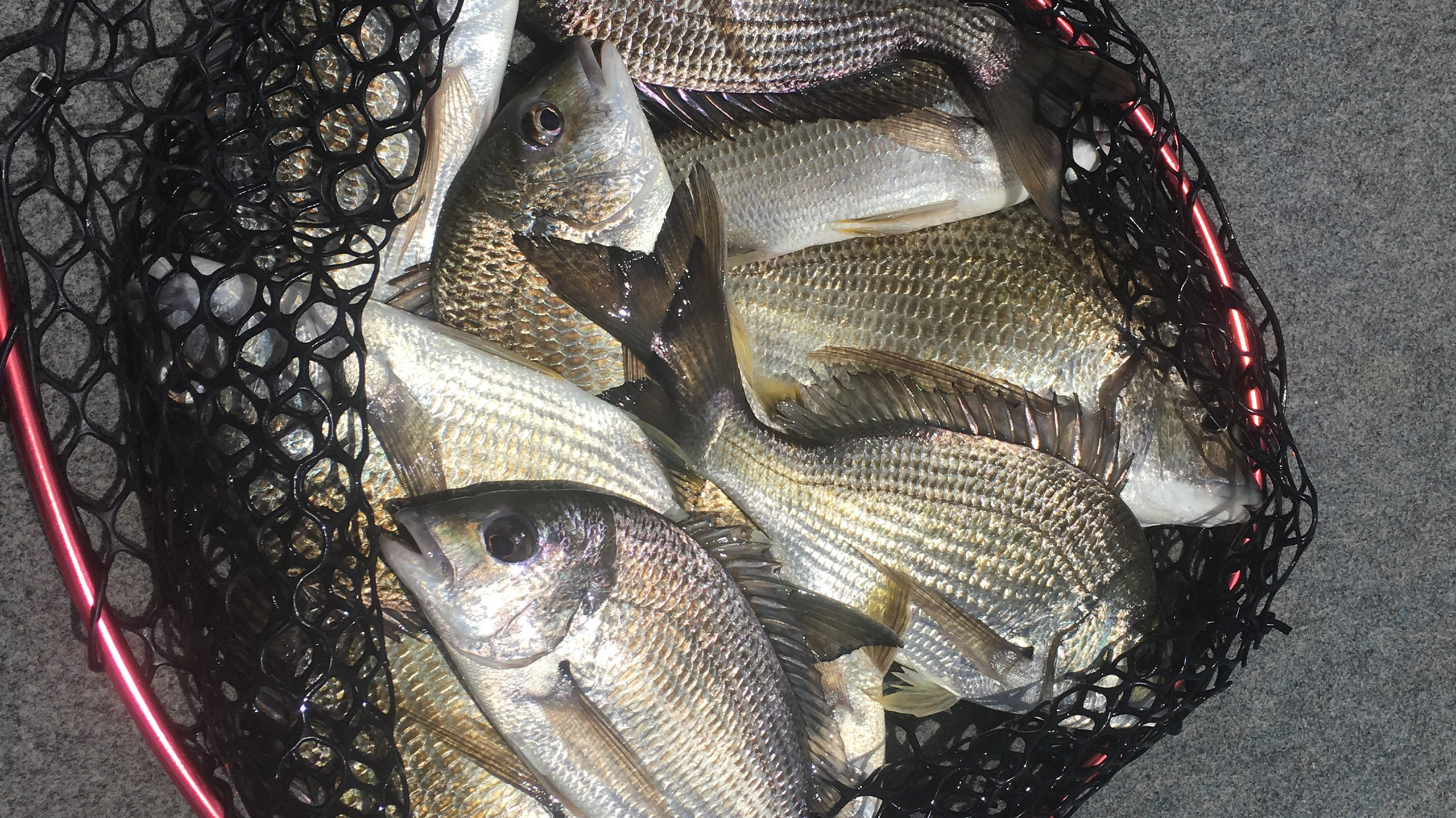 Bags of bream