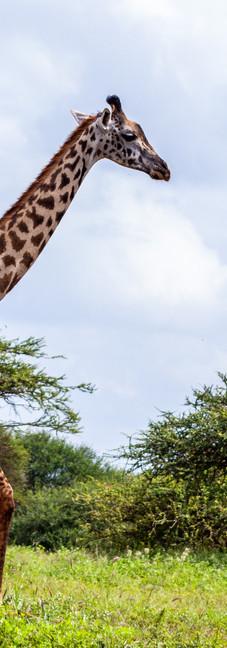 Safari a Kènia