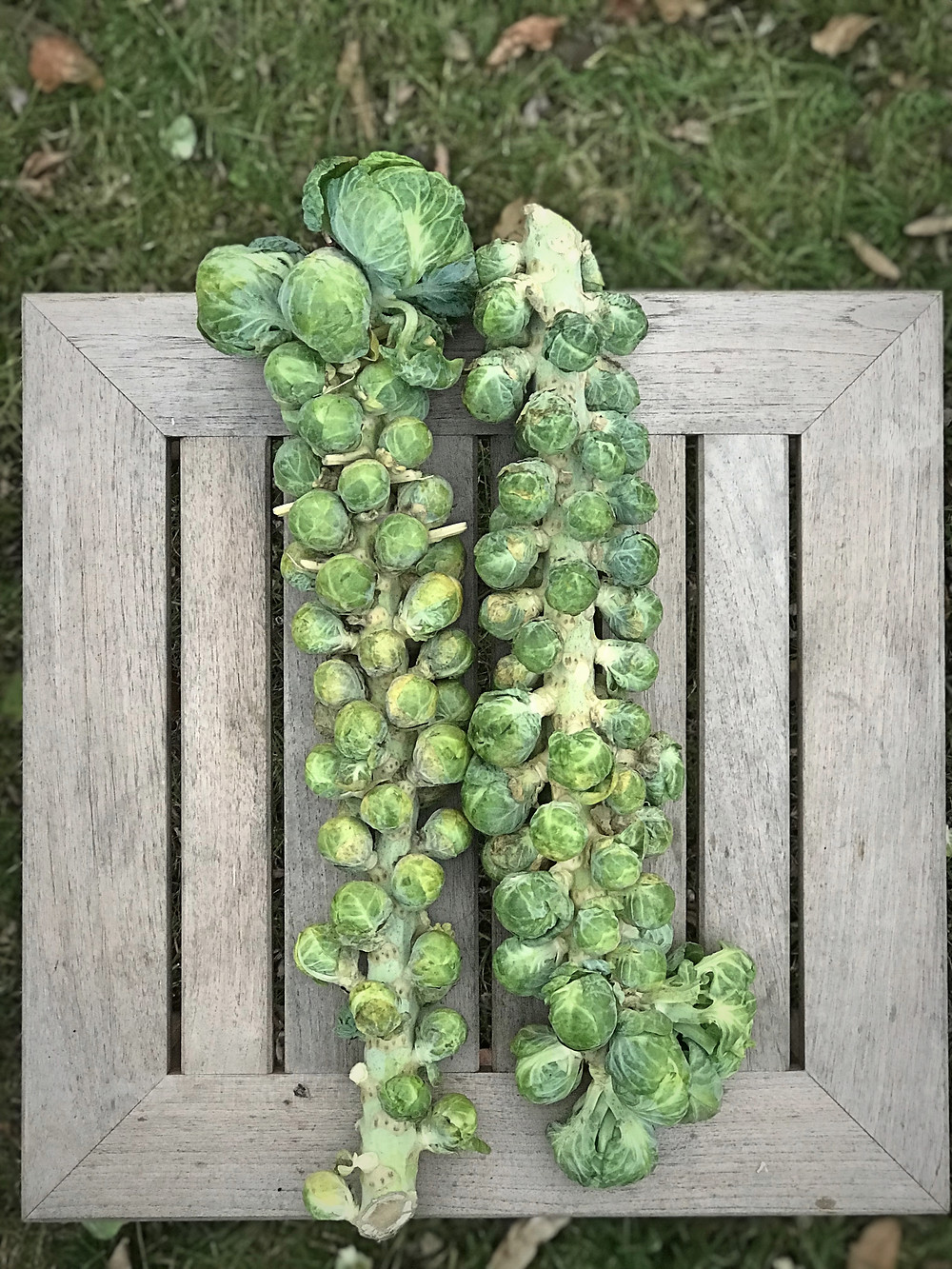 Brussels Sprouts on the stalk.