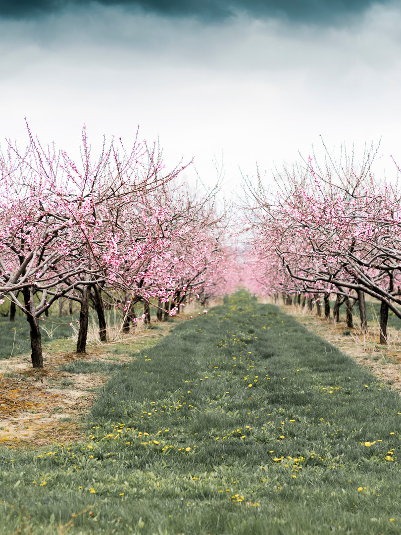 Niagara Peach Orchard