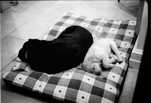Labrador mother and puppy sleeping