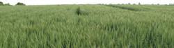 field long