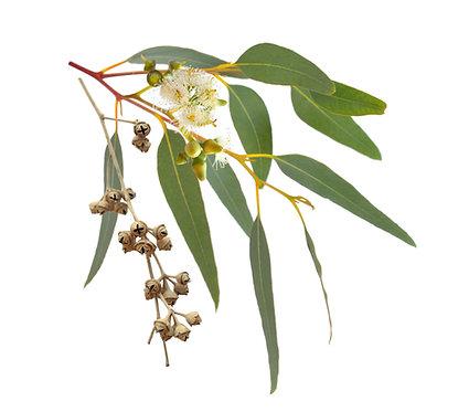 Eucalyptus Australian (Radiata)