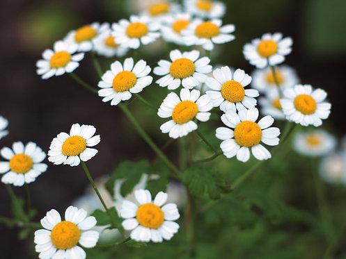 Chamomile Flower Blend Hydrosol