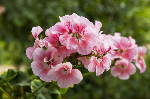 Geranium Rose Egypt Organic