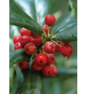 Wintergreen Organic