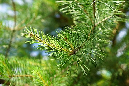 Pine Scotch