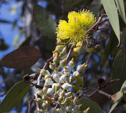 Lemon Eucalyptus