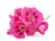 Pink flower of Geranium, Pelargonium, Ge