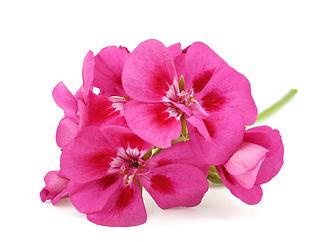 Pink flower of Geranium, Pelargonium, Ge