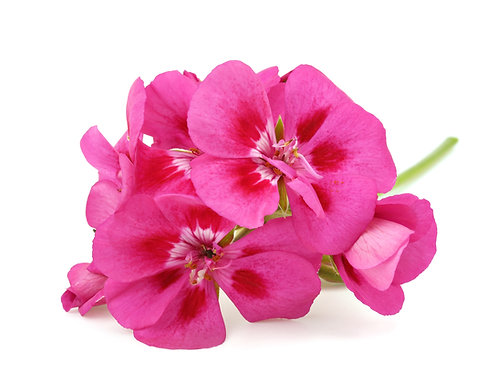 Geranium Rose China