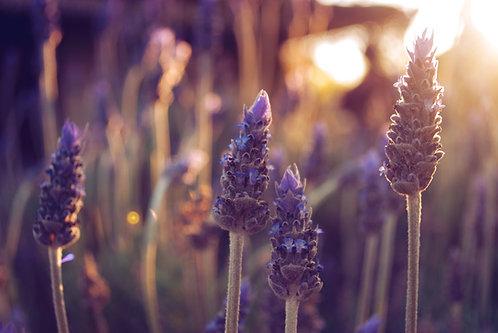 Lavender Australian