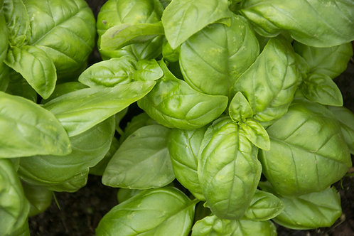 Basil Tropical (Methyl Chavicol)