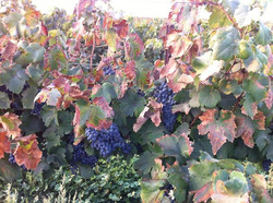 Petite Sirah on the vine