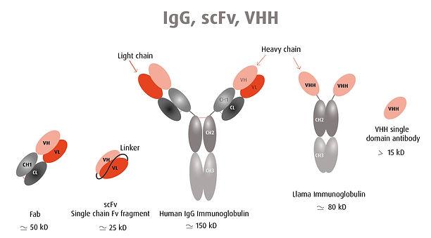 hybribody-igg-vhh-scfv.jpg