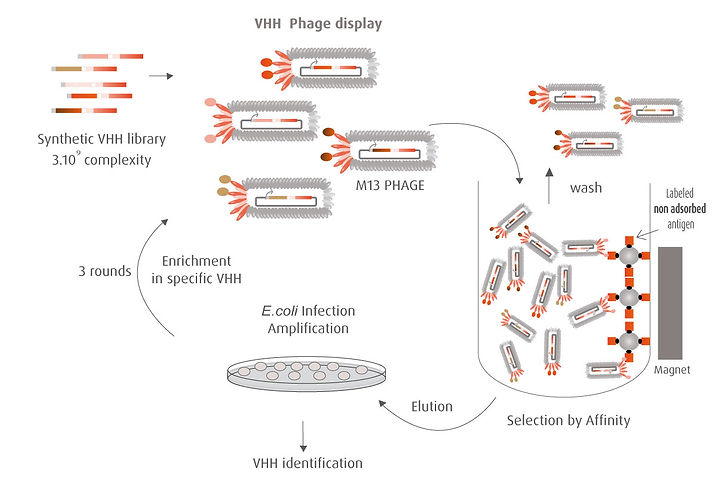 hybribody-vhh-phage-display.jpg