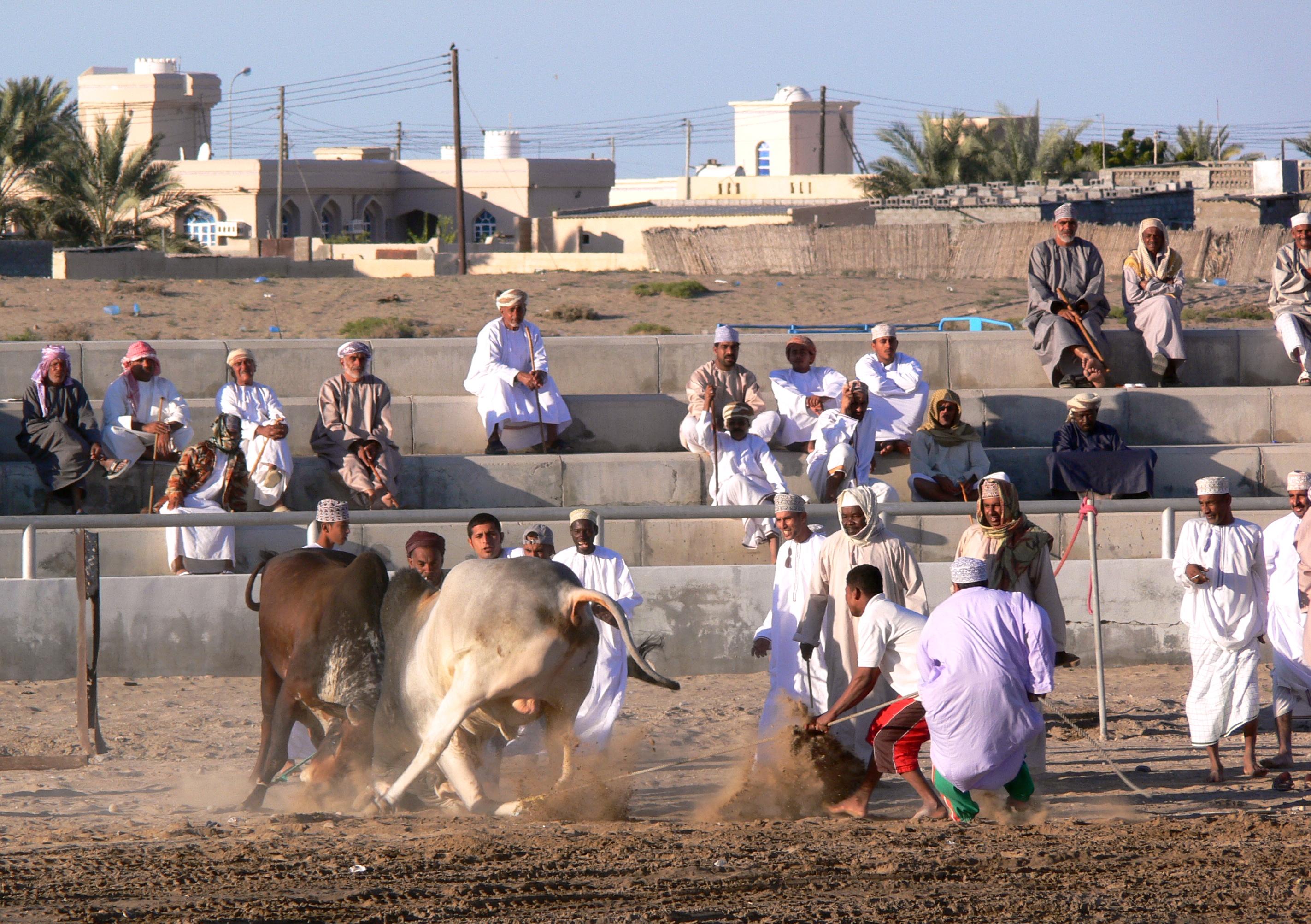 Oman_bullfighting_(4)
