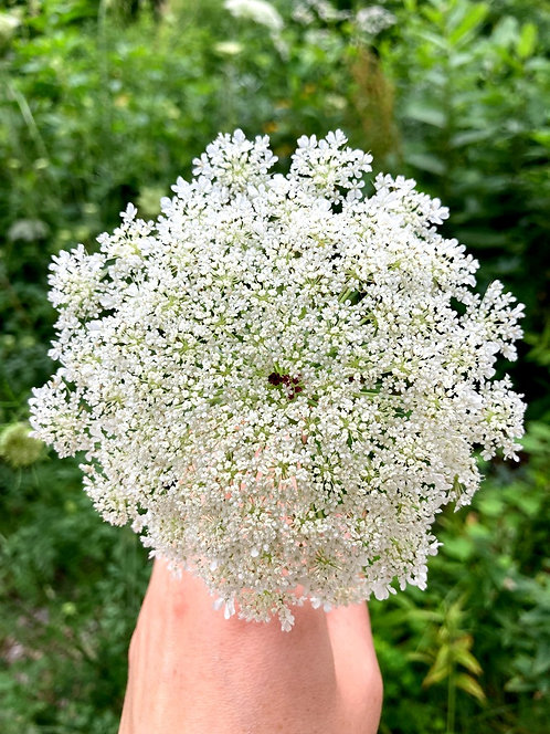 Queen Anne's Lace Essence