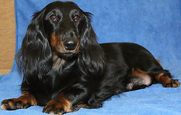 breeding dachshund