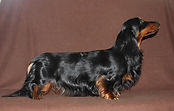 AKC champion dachshund