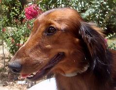 roman nose dachshund