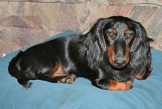 black and tan long hair doxie