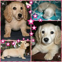 cream long hair dachshund