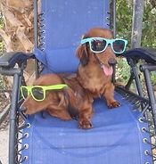 Florida dachshund