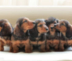 hot dog puppies